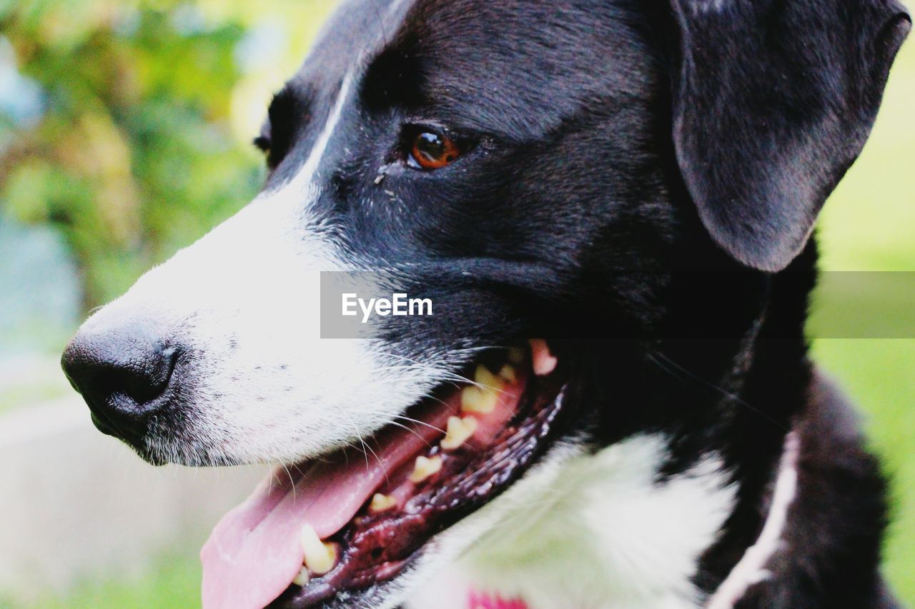 CLOSE-UP OF BLACK DOG LOOKING AWAY
