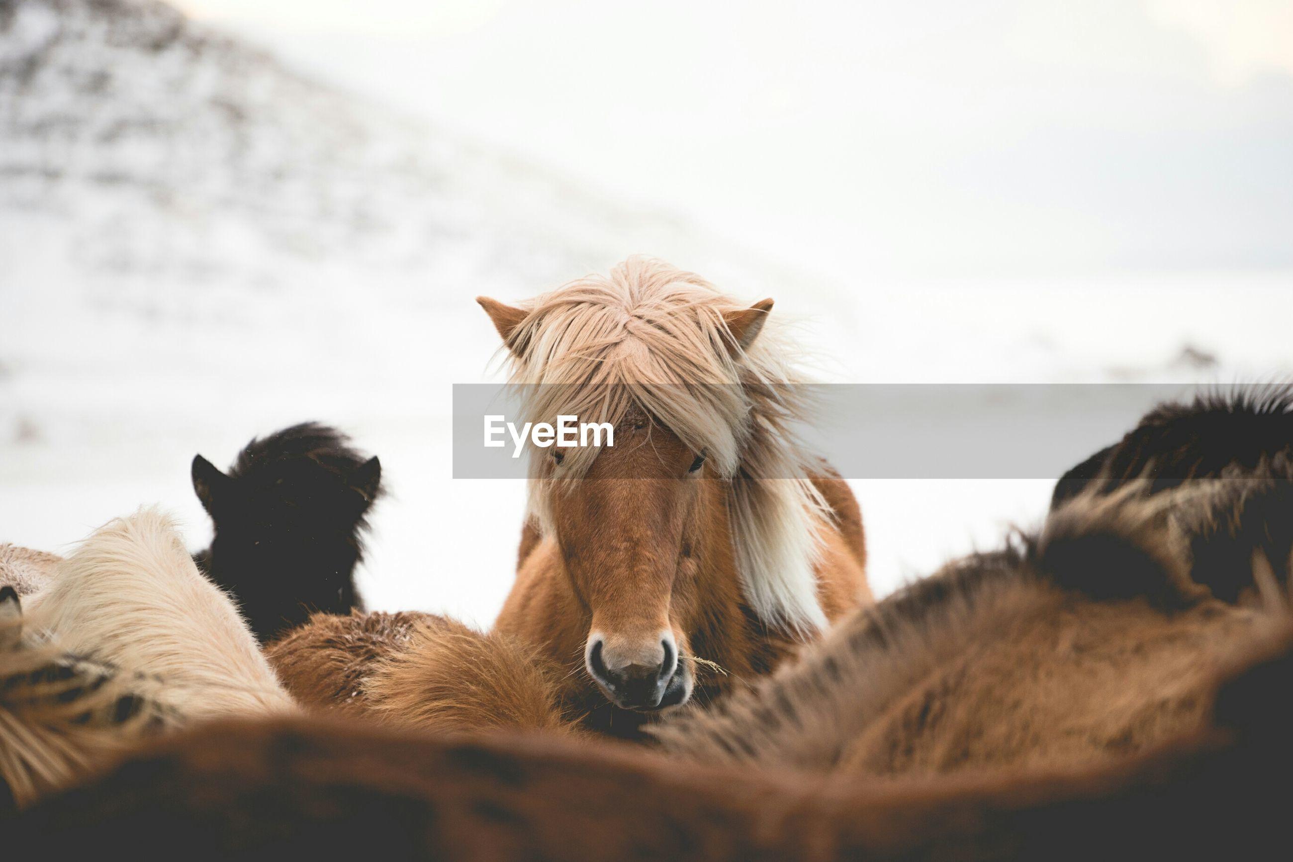 Portrait of icelandic horse outdoors