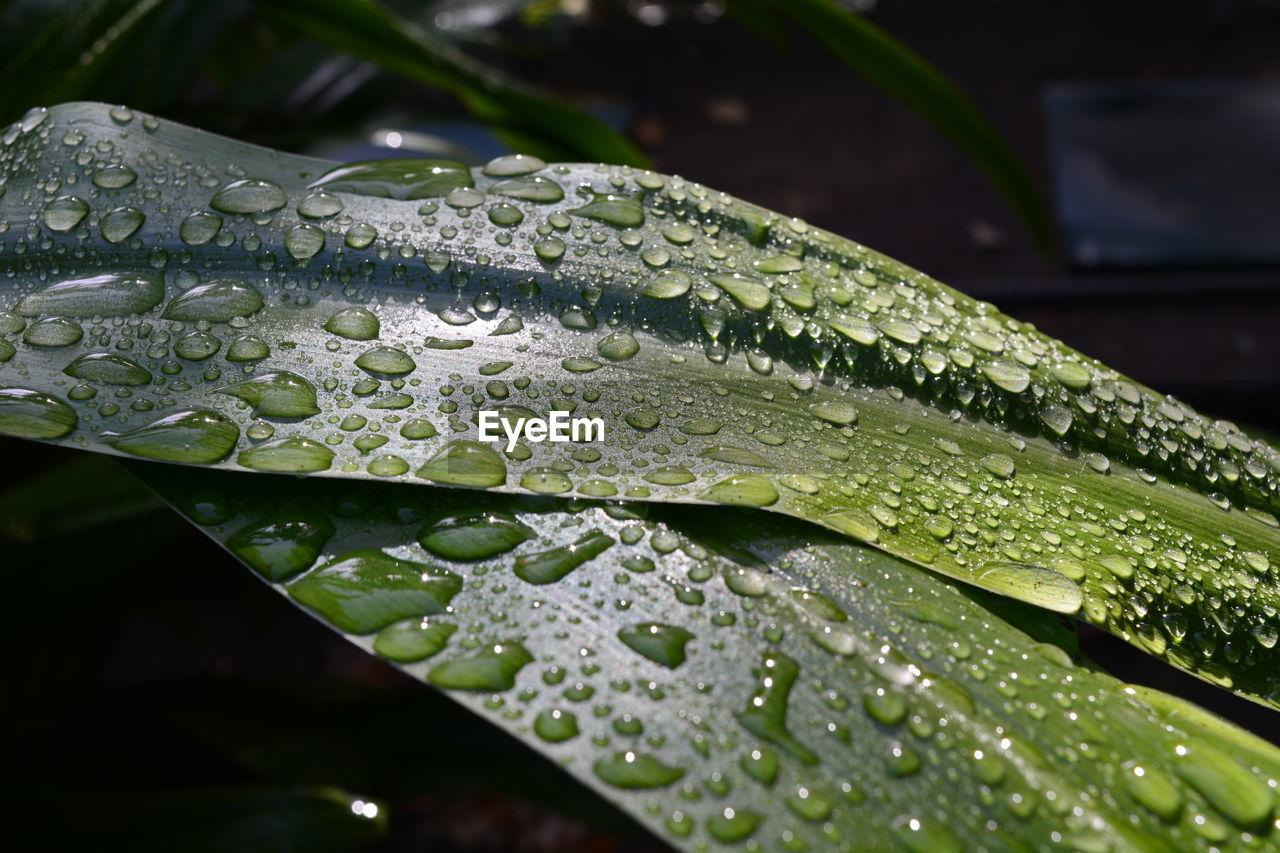 drop, water, wet, close-up, leaf, plant part, nature, green color, focus on foreground, no people, freshness, beauty in nature, rain, plant, growth, purity, fragility, day, outdoors, raindrop, dew, rainy season, leaves, blade of grass