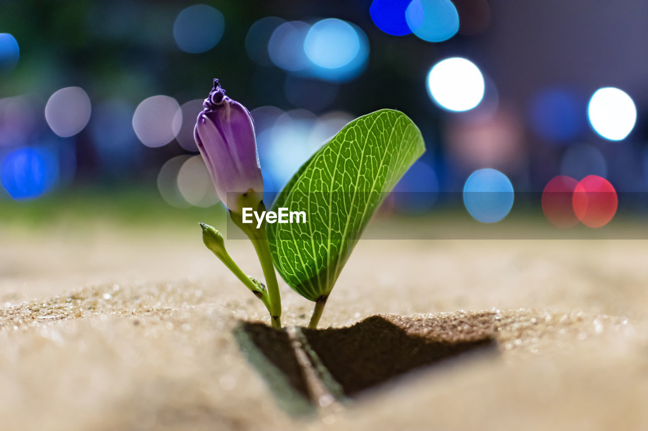 selective focus, close-up, green color, no people, plant, nature, lens flare, beauty in nature, leaf, growth, plant part, outdoors, vulnerability, freshness, fragility, night, flower, flowering plant, focus on foreground, purple