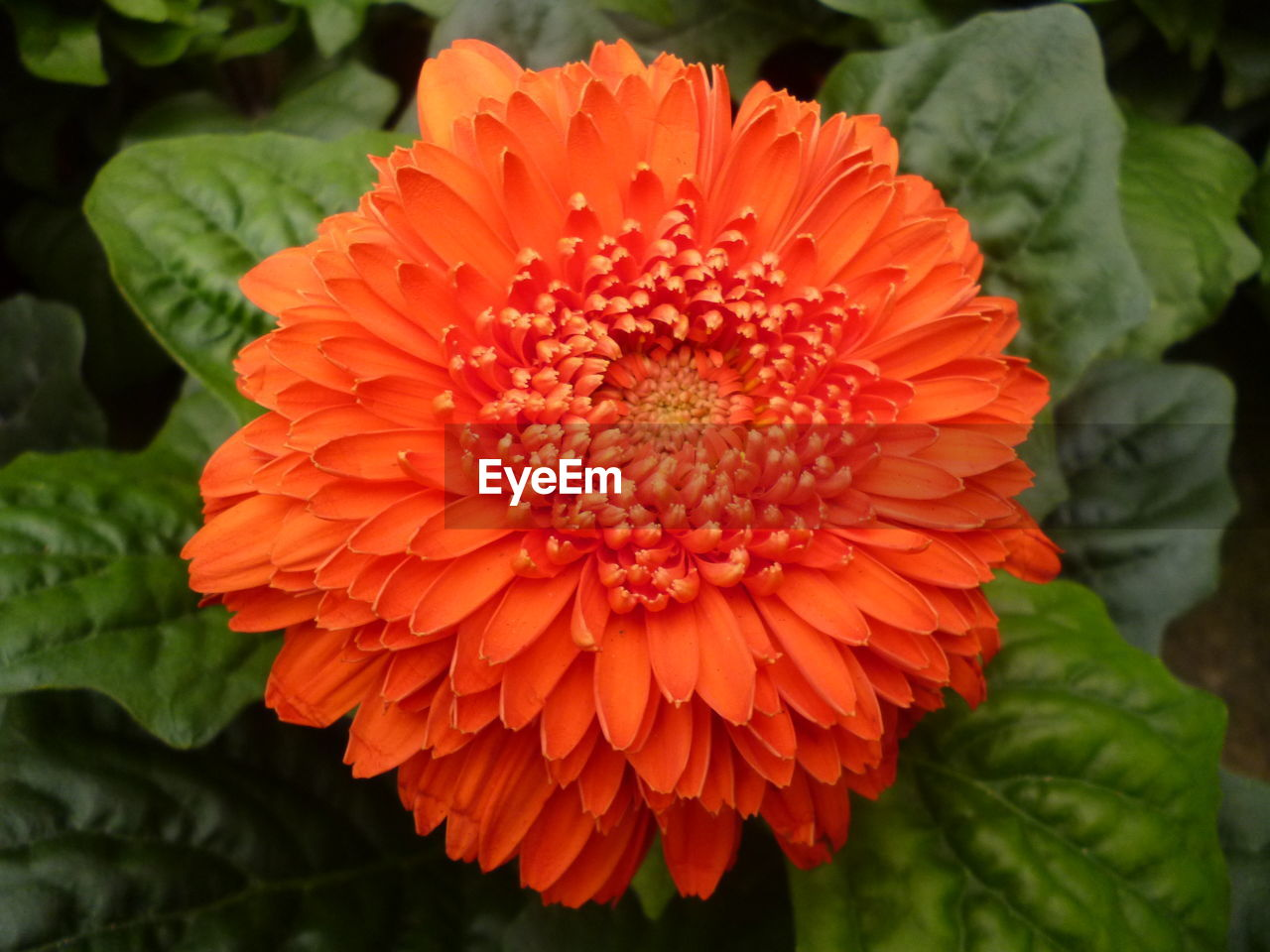 flower, petal, beauty in nature, flower head, fragility, freshness, nature, orange color, growth, no people, close-up, blooming, plant, day, leaf, outdoors, red, zinnia