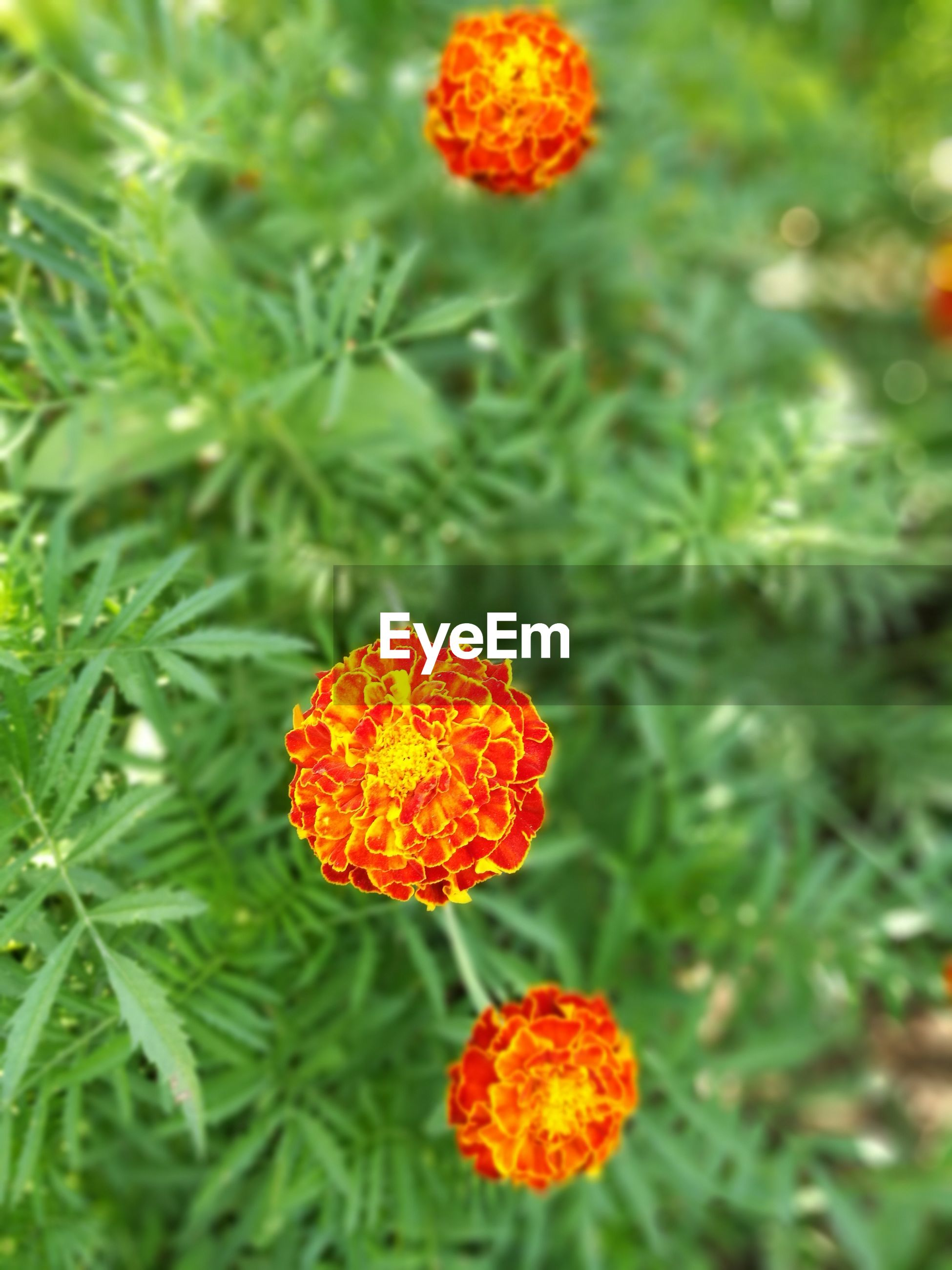 flower, growth, nature, beauty in nature, freshness, plant, flower head, orange color, fragility, petal, no people, outdoors, day, green color, blooming, focus on foreground, marigold, close-up, lantana camara