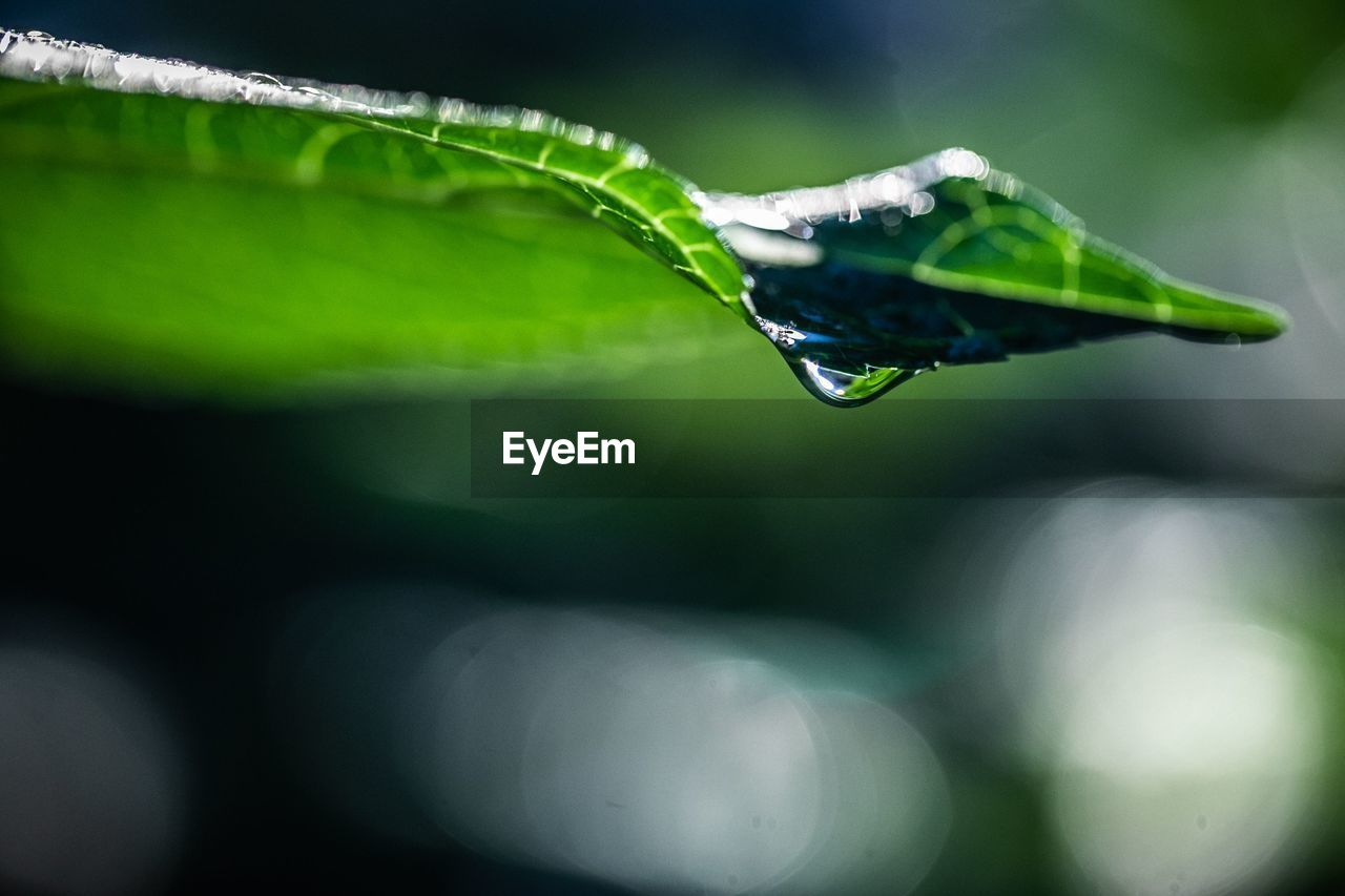 close-up, plant part, leaf, green color, plant, selective focus, drop, nature, water, invertebrate, animal wildlife, growth, one animal, animals in the wild, insect, animal, day, animal themes, no people, outdoors, dew, blade of grass, raindrop, purity