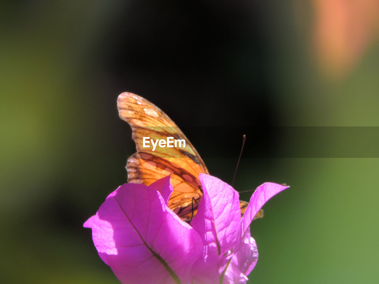 CLOSE-UP OF BUTTERFLY ON PINK FLOWER OUTDOORS