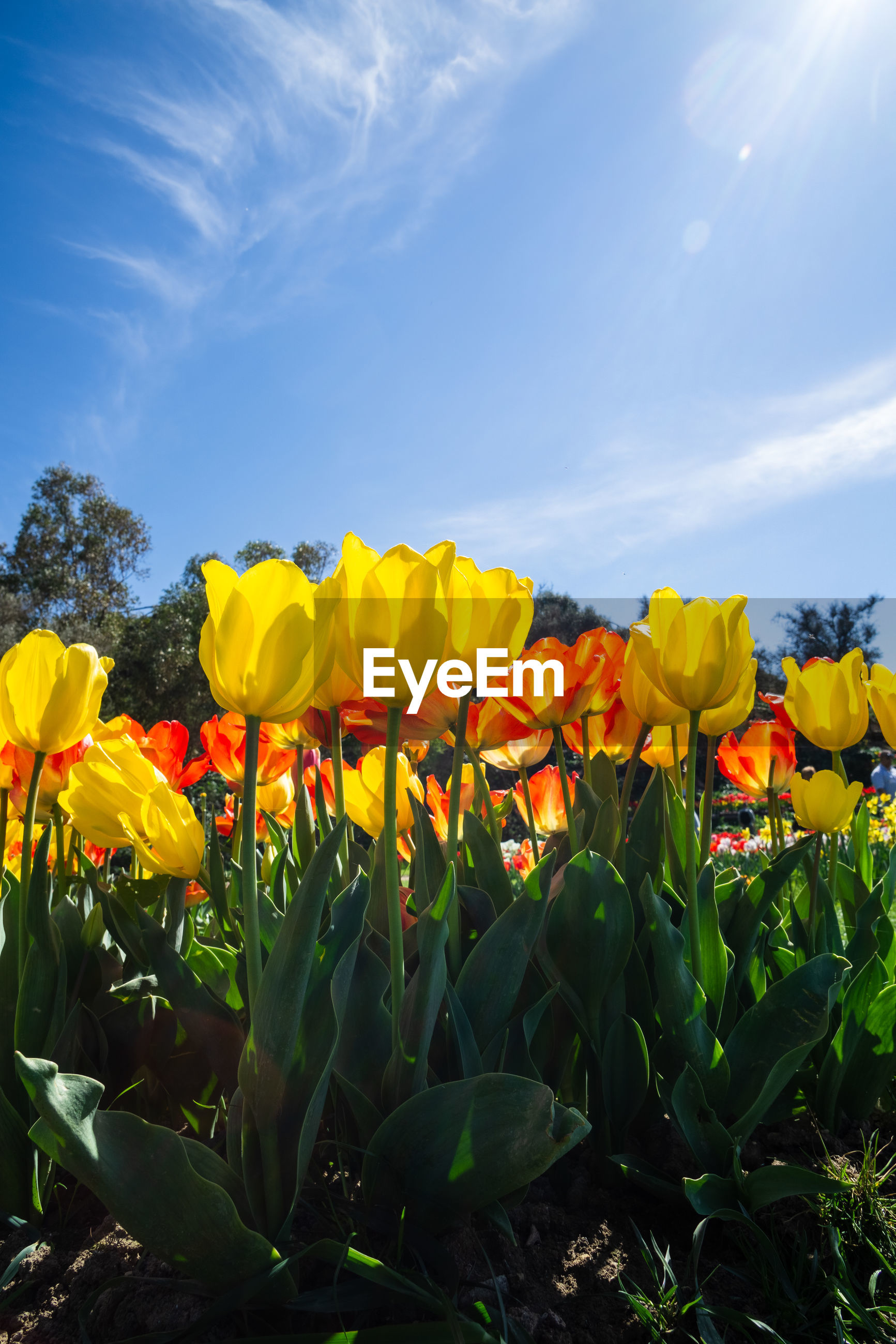 Full frame shot of yellow and red tulips
