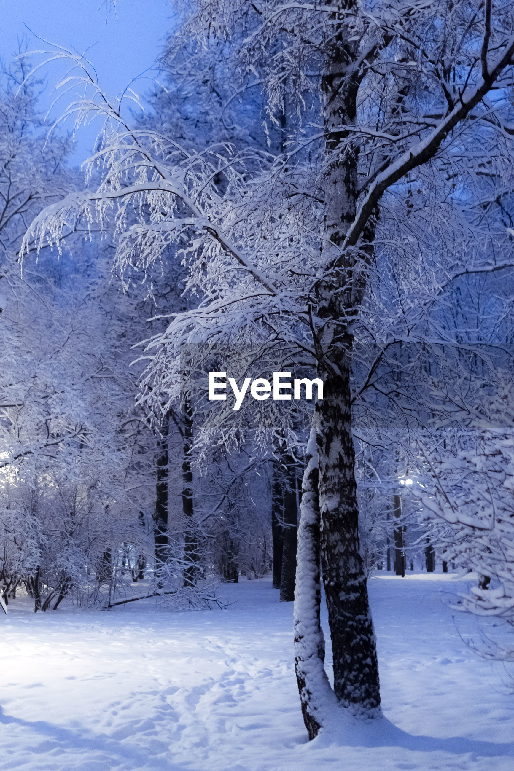 SNOW COVERED TREES ON LANDSCAPE