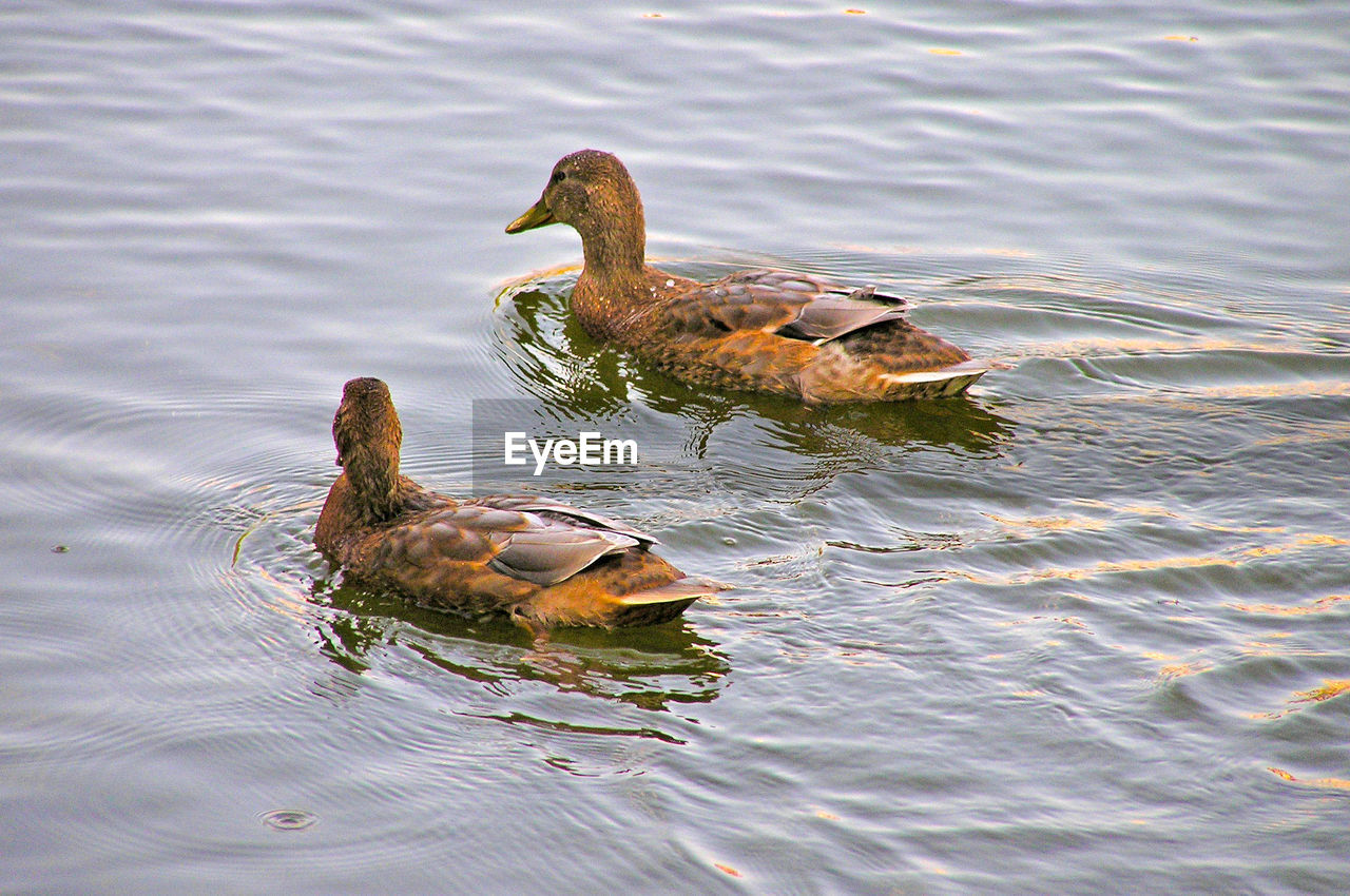 lake, water, animals in the wild, animal themes, bird, swimming, waterfront, duck, water bird, nature, rippled, animal wildlife, no people, day, outdoors