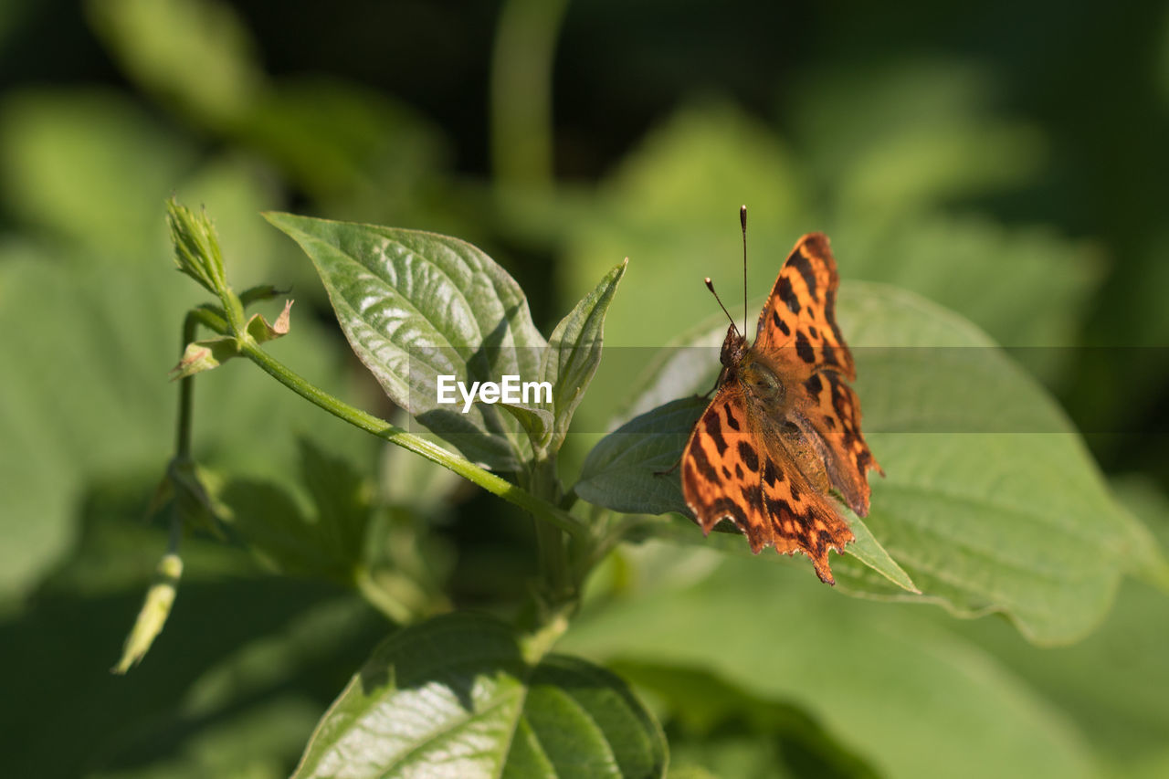 leaf, insect, one animal, nature, animals in the wild, butterfly - insect, animal themes, day, green color, outdoors, plant, change, no people, close-up, animal wildlife, growth, beauty in nature, fragility