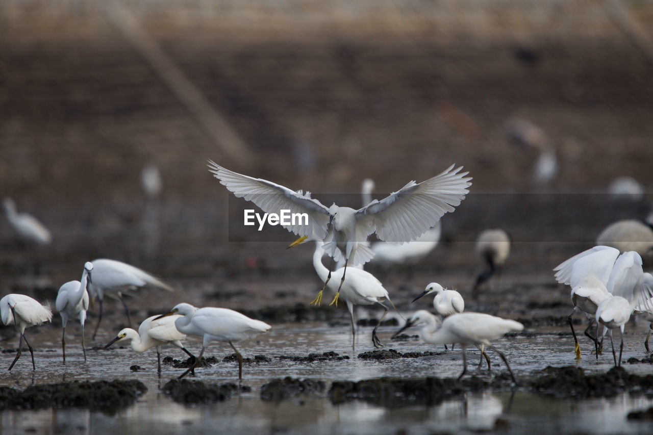 bird, animals in the wild, vertebrate, flying, animal wildlife, spread wings, animal, animal themes, group of animals, no people, day, water, white color, selective focus, nature, motion, lake, focus on foreground, large group of animals, seagull, flock of birds, flapping