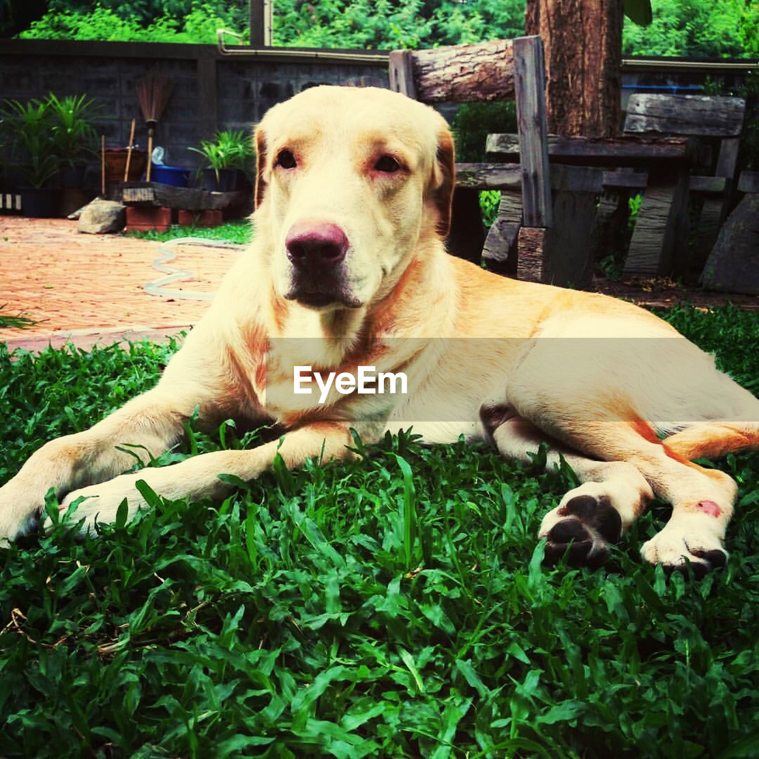 dog, pets, mammal, one animal, animal themes, domestic animals, relaxation, grass, sitting, looking at camera, outdoors, day, portrait, no people, close-up, nature