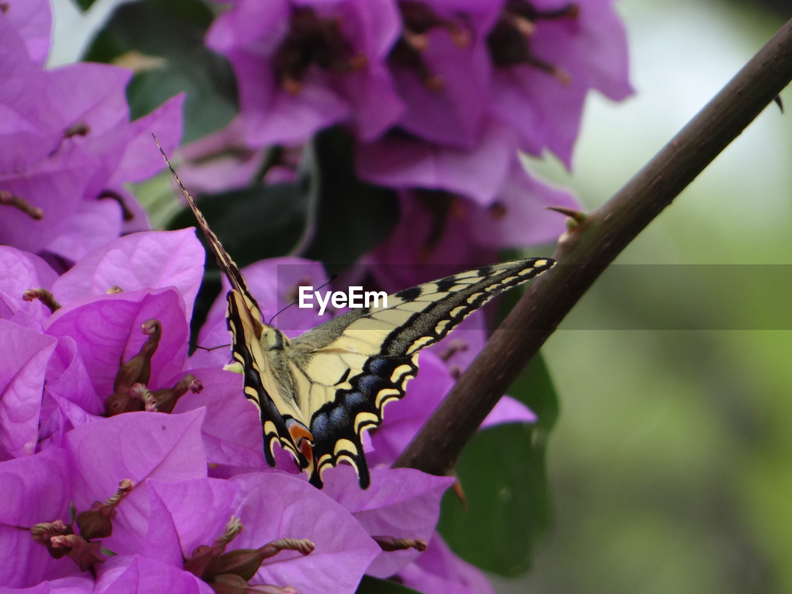 Close-up of butterfly pollinating on purple flowers