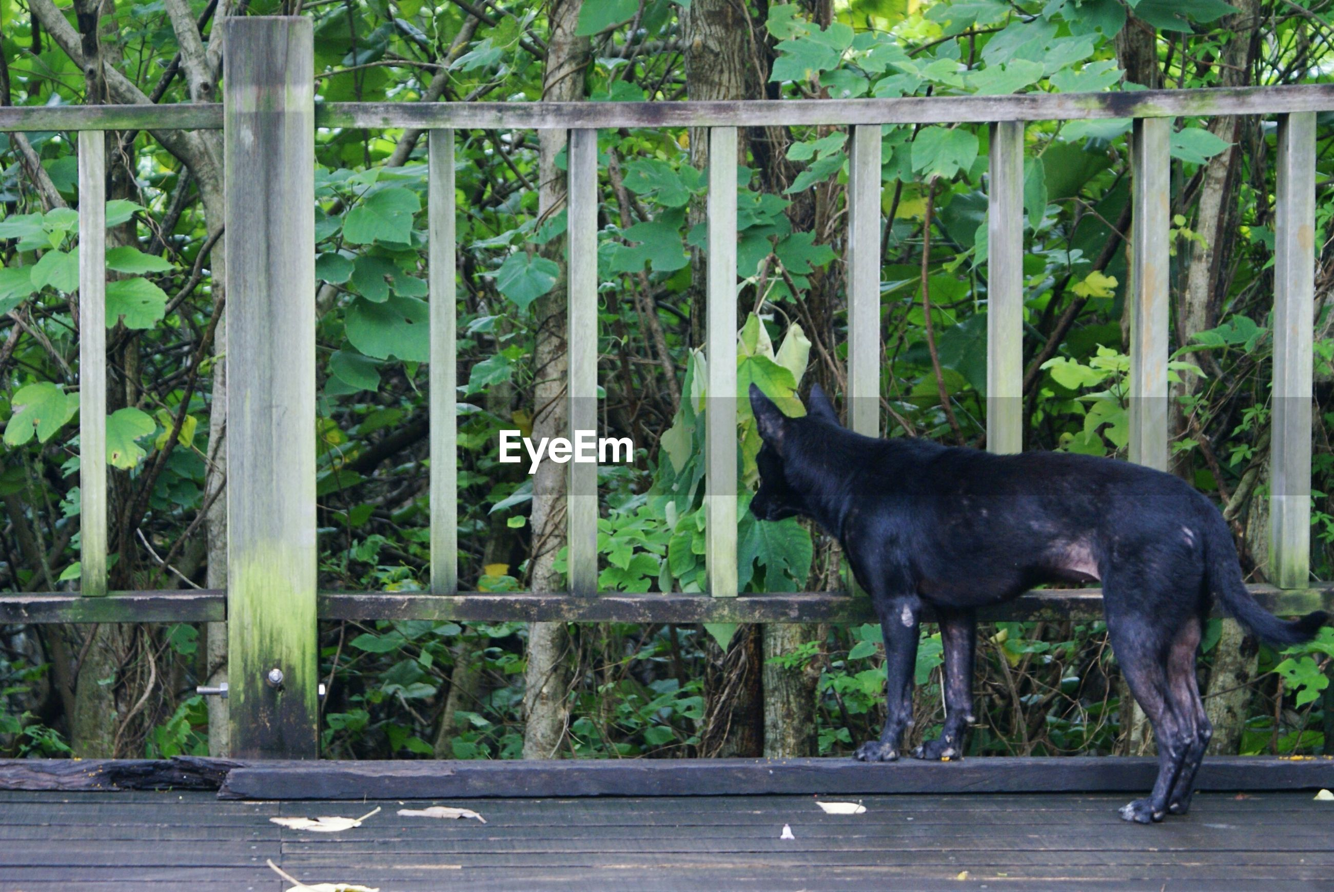 Stray dog looking at plants through wooden fence