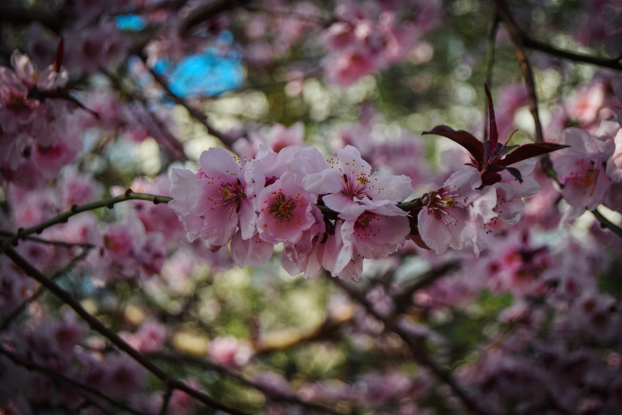 flowering plant, flower, plant, fragility, vulnerability, freshness, growth, beauty in nature, blossom, pink color, tree, close-up, branch, springtime, petal, nature, selective focus, day, twig, inflorescence, cherry blossom, no people, flower head, cherry tree, outdoors, pollen, spring, bunch of flowers