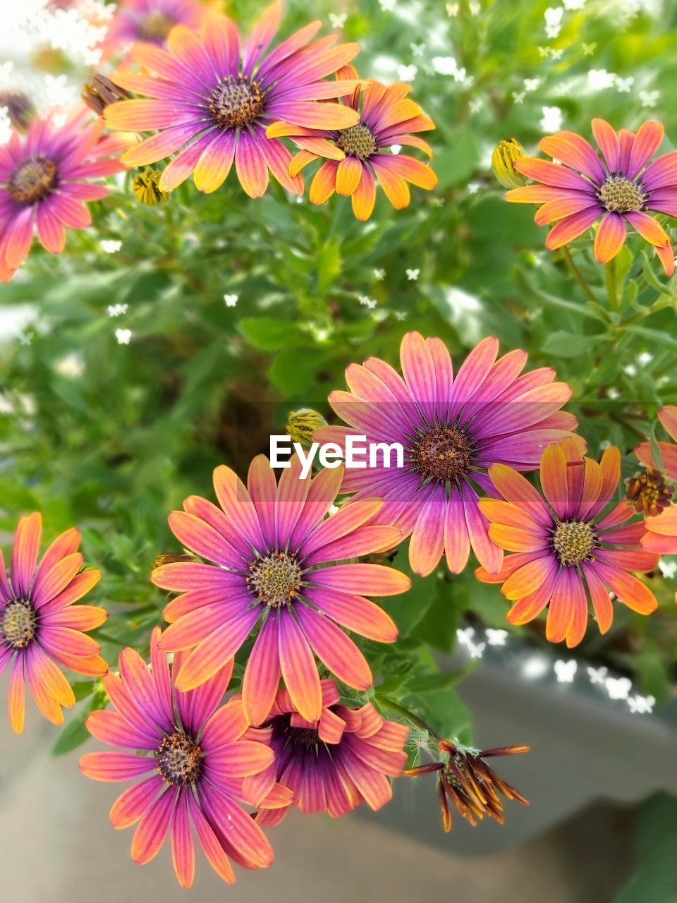 flowering plant, flower, vulnerability, freshness, fragility, plant, petal, beauty in nature, flower head, inflorescence, growth, close-up, no people, nature, pink color, pollen, day, focus on foreground, high angle view, osteospermum, purple