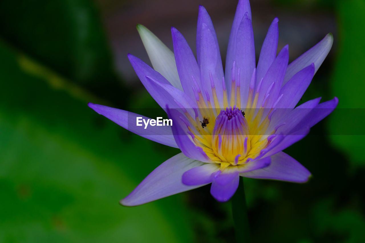CLOSE-UP OF PURPLE WATER LILY IN LOTUS
