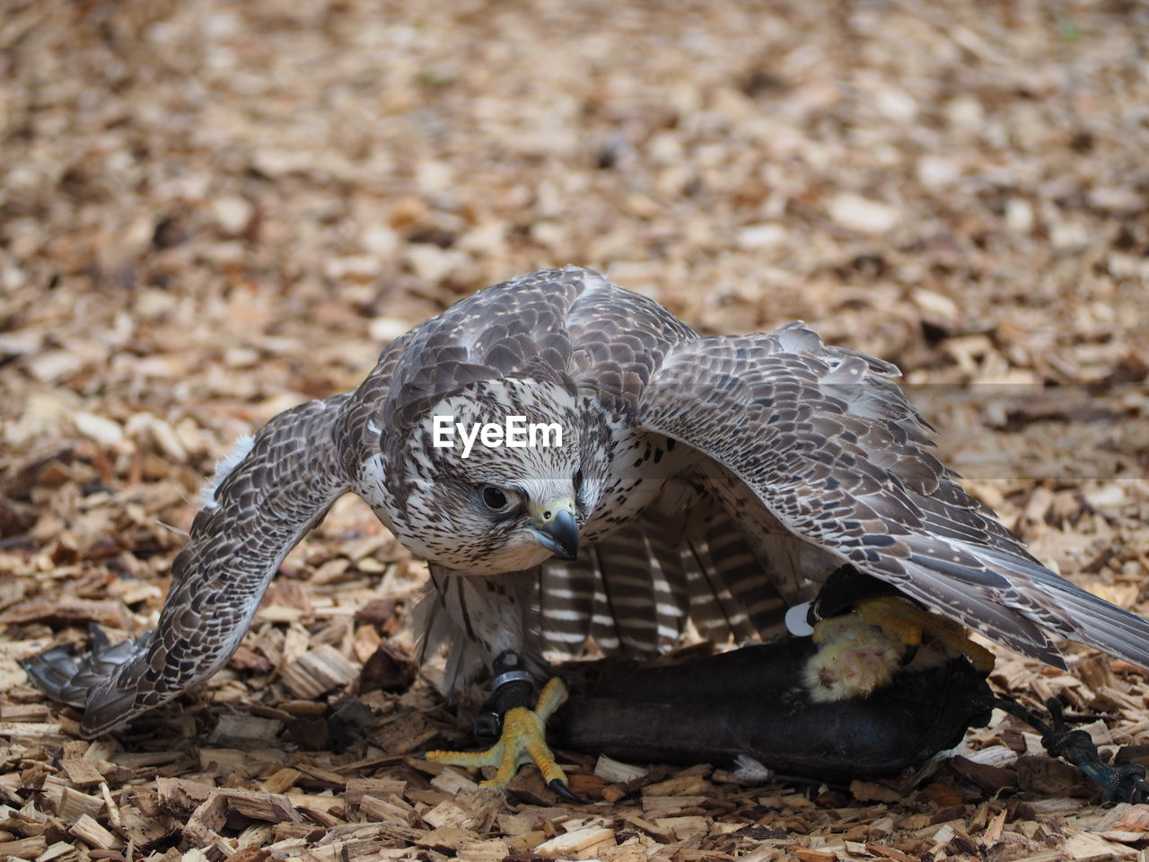 animal themes, animal, animal wildlife, animals in the wild, bird, vertebrate, one animal, bird of prey, no people, day, spread wings, close-up, field, land, flying, nature, focus on foreground, outdoors, beak, zoology, falcon - bird