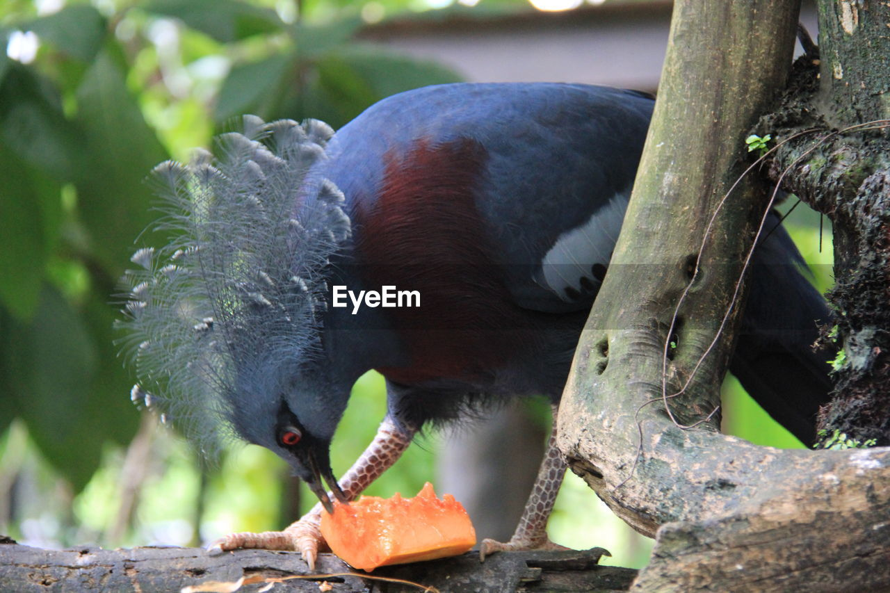 animal themes, animals in the wild, animal wildlife, tree, one animal, food, no people, outdoors, eating, day, nature, feeding, black color, bird, food and drink, focus on foreground, close-up, branch, perching, mammal