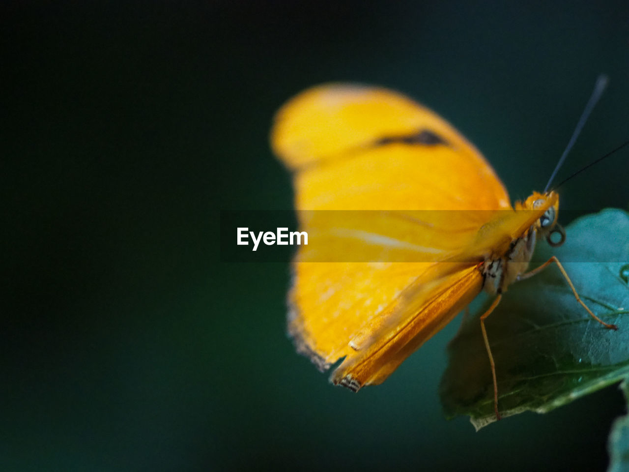 CLOSE-UP OF BUTTERFLY POLLINATING ON YELLOW ROSE