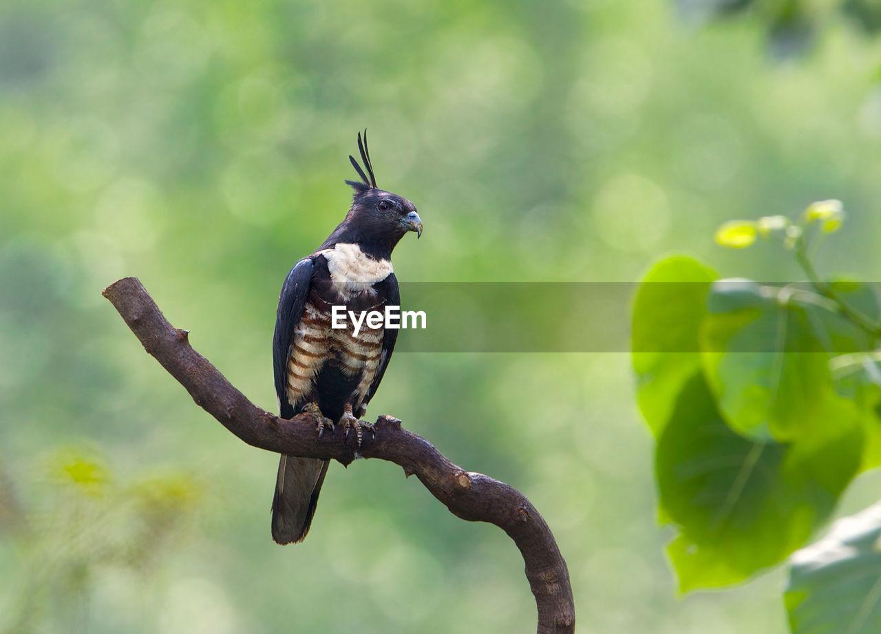 Black Baza Perching On Branch