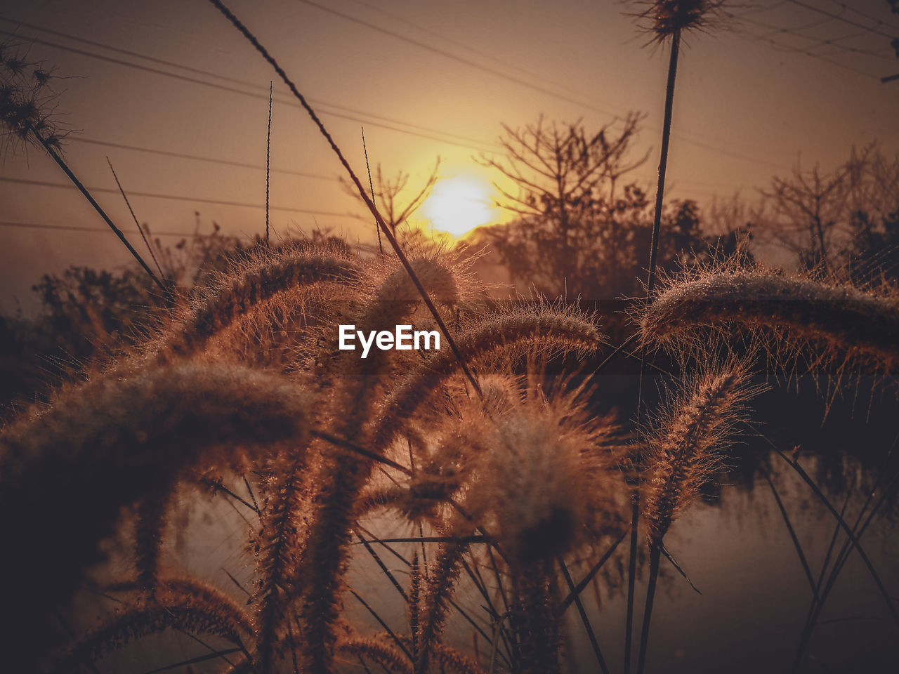 sky, sunset, plant, tranquility, nature, beauty in nature, growth, no people, orange color, close-up, focus on foreground, sun, tranquil scene, grass, scenics - nature, sunlight, outdoors, field, fragility, silhouette, stalk, timothy grass