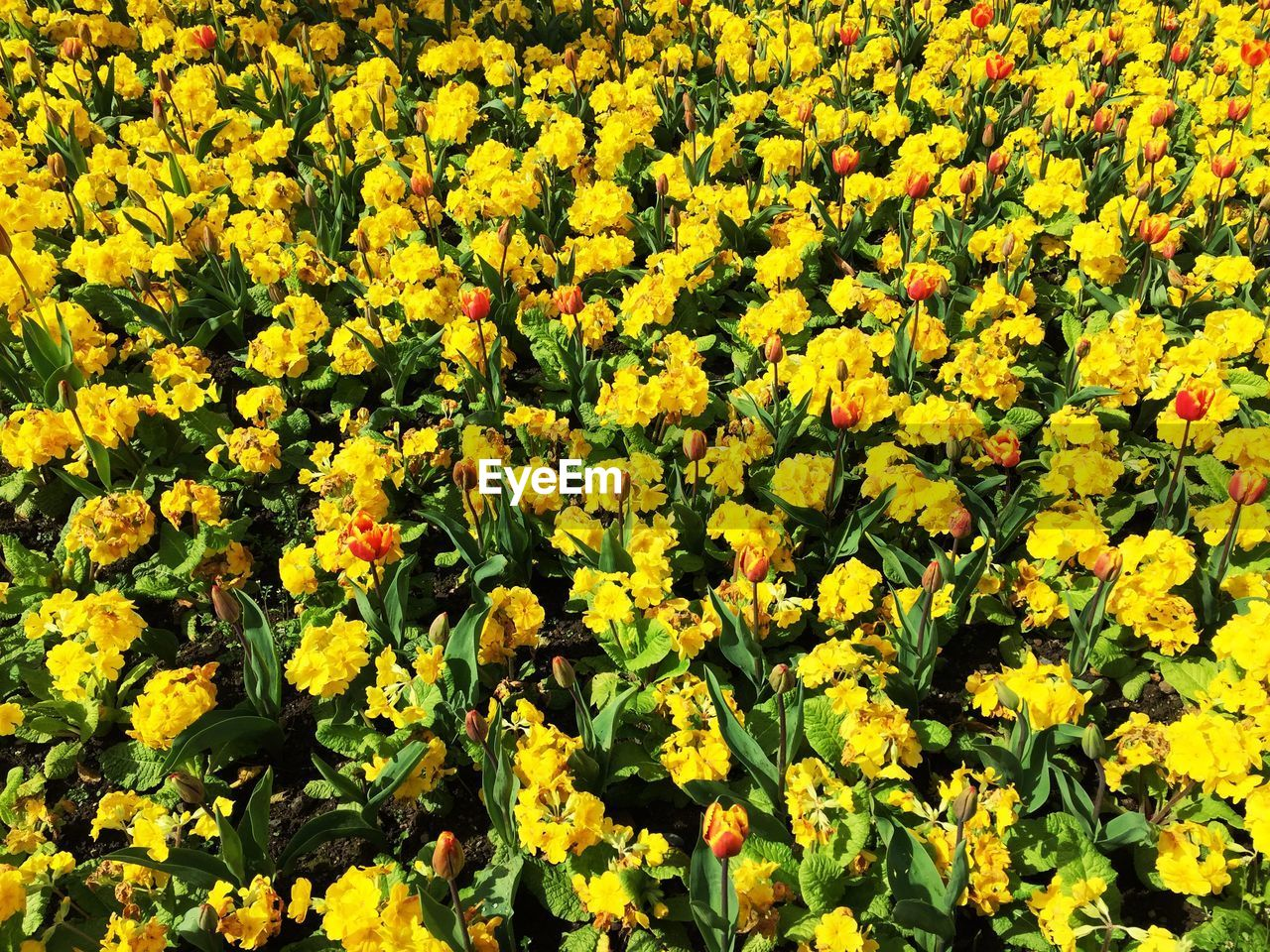 flower, flowering plant, beauty in nature, yellow, growth, fragility, vulnerability, freshness, plant, abundance, field, full frame, land, no people, nature, day, flower head, inflorescence, backgrounds, close-up, outdoors, flowerbed, springtime