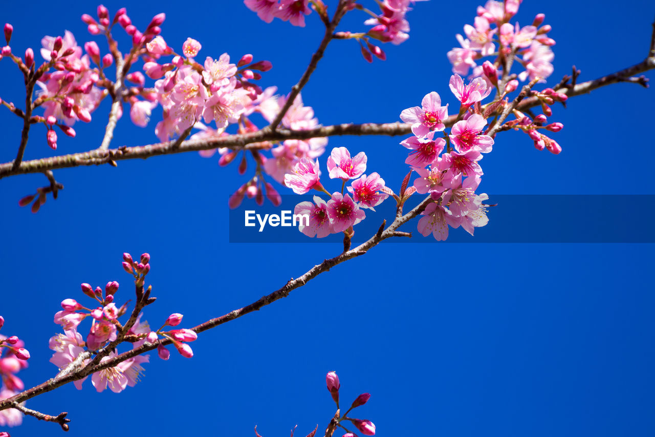 flower, plant, fragility, flowering plant, tree, beauty in nature, vulnerability, branch, sky, blossom, freshness, growth, springtime, blue, pink color, nature, low angle view, no people, petal, day, cherry blossom, cherry tree, outdoors, flower head, plum blossom, spring