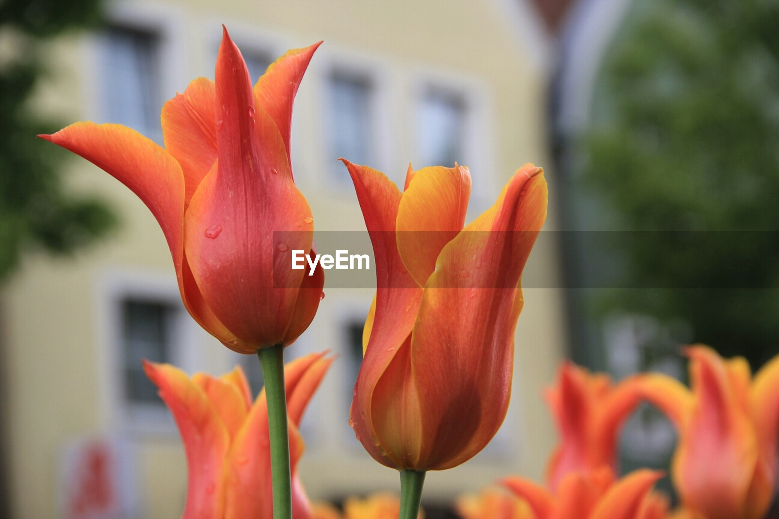 flower, petal, flower head, fragility, freshness, growth, focus on foreground, beauty in nature, close-up, red, tulip, blooming, nature, plant, orange color, stem, day, in bloom, no people, blossom