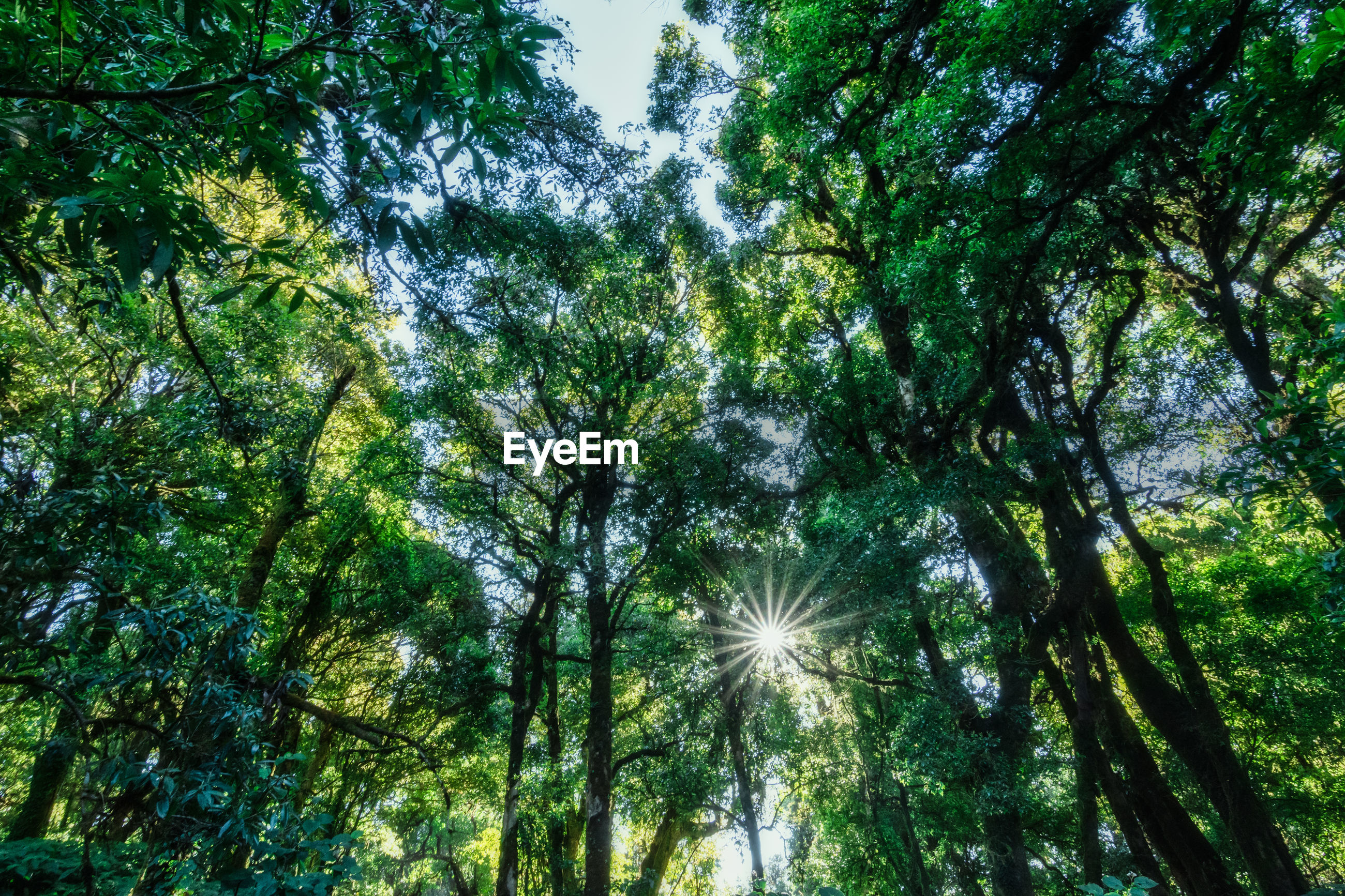 LOW ANGLE VIEW OF SUN STREAMING THROUGH TREES IN FOREST