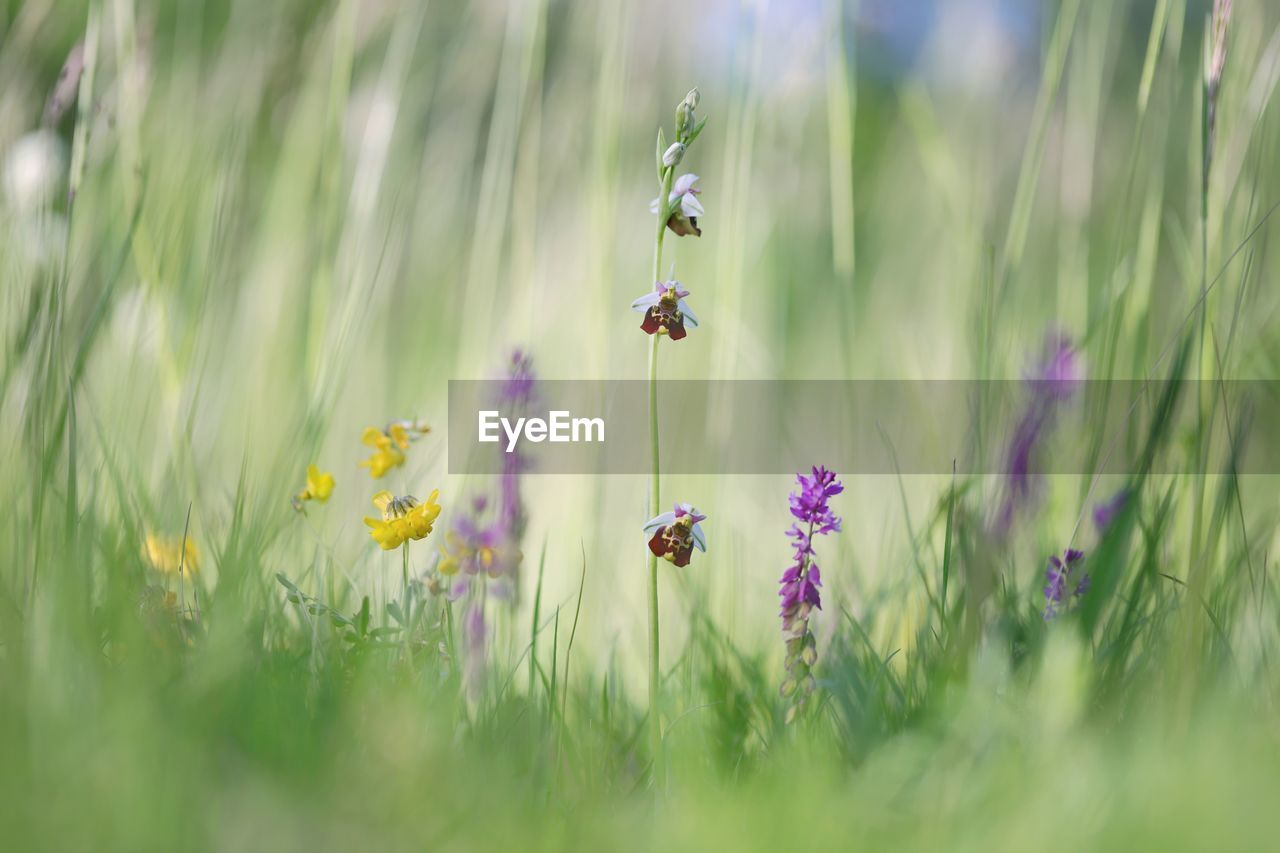 flowering plant, flower, plant, growth, beauty in nature, freshness, fragility, vulnerability, land, field, selective focus, nature, insect, petal, no people, day, close-up, invertebrate, grass, animals in the wild, flower head, purple, lavender, pollination