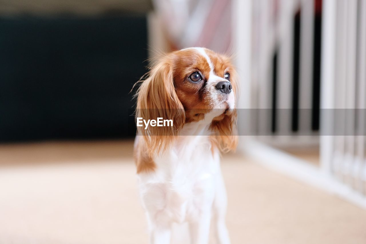 one animal, dog, canine, domestic, pets, mammal, domestic animals, animal themes, animal, lap dog, cavalier king charles spaniel, vertebrate, focus on foreground, no people, small, looking, selective focus, indoors, portrait, looking away, purebred dog