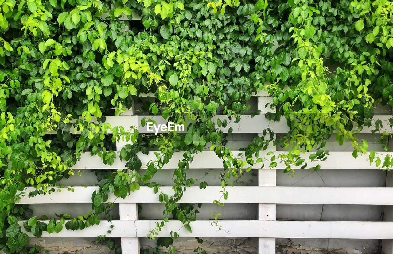 growth, green color, plant, leaf, plant part, nature, day, no people, outdoors, white color, beauty in nature, freshness, architecture, barrier, fence, boundary, built structure, wood - material, ivy, railing, hedge