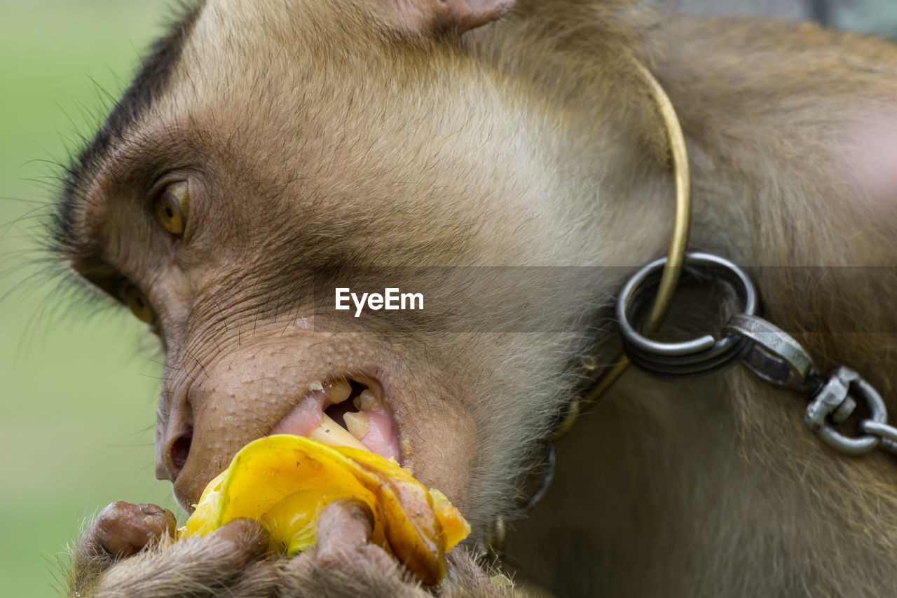 animal, animal themes, one animal, mammal, vertebrate, close-up, domestic animals, animal body part, no people, domestic, focus on foreground, pets, day, animal head, animal wildlife, primate, eating, mouth, food, monkey, mouth open, animal mouth, herbivorous