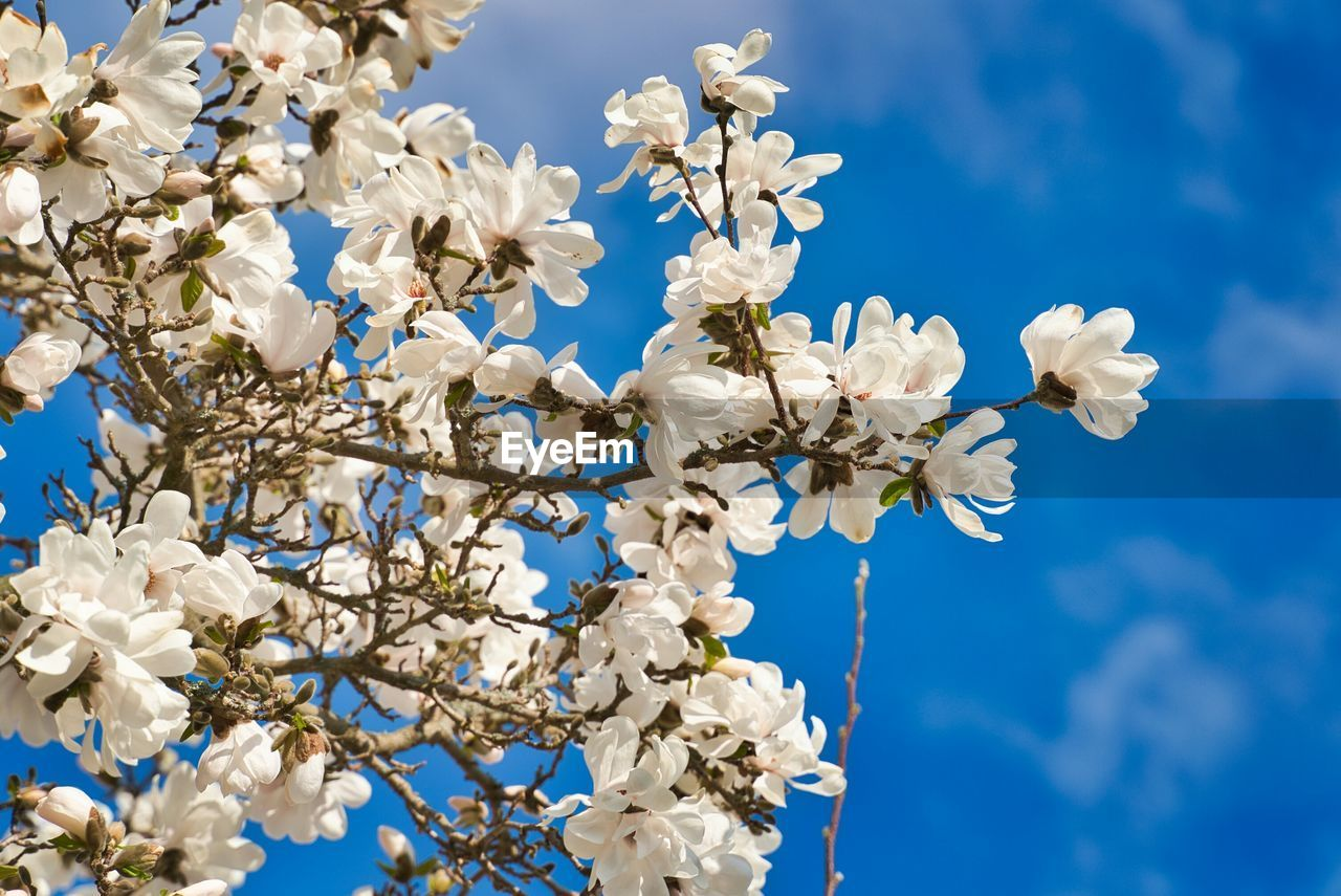 flowering plant, flower, plant, sky, low angle view, beauty in nature, fragility, blue, vulnerability, freshness, growth, nature, no people, white color, day, cloud - sky, tree, springtime, branch, close-up, outdoors, cherry blossom, cherry tree