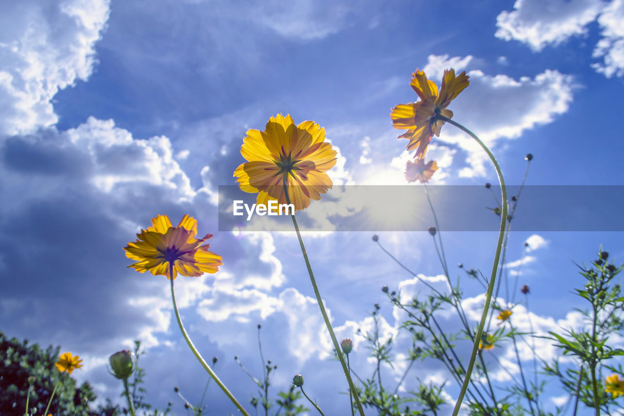 flower, fragility, petal, beauty in nature, flower head, freshness, nature, growth, no people, blooming, cosmos flower, yellow, plant, day, outdoors, sky, close-up