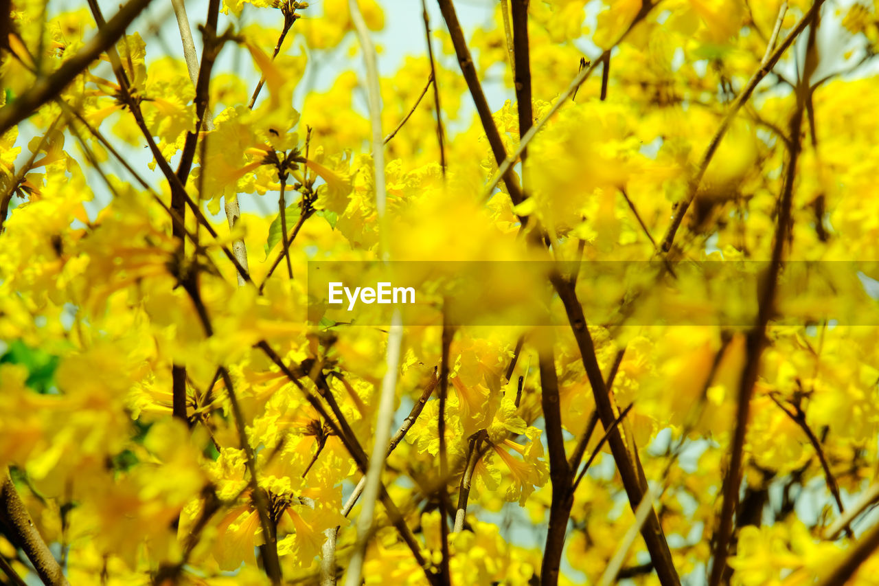 CLOSE-UP OF YELLOW FLOWERING PLANTS DURING SUNSET