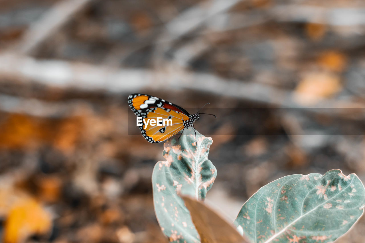 animal wildlife, animal themes, insect, invertebrate, animal, animals in the wild, one animal, butterfly - insect, animal wing, close-up, focus on foreground, beauty in nature, leaf, plant part, nature, day, plant, selective focus, flower, no people, outdoors, butterfly, pollination