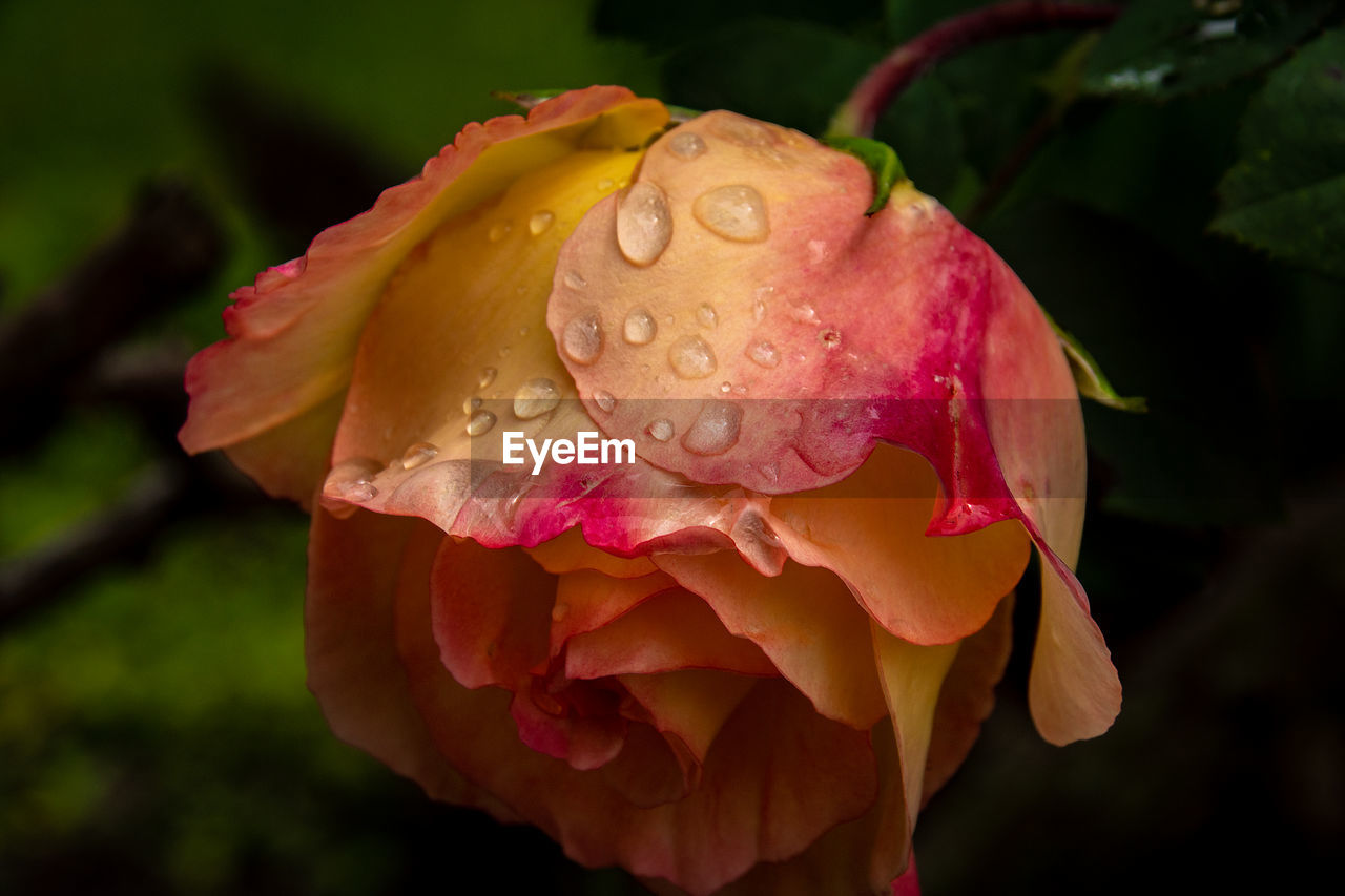 flower, flowering plant, beauty in nature, petal, vulnerability, fragility, plant, inflorescence, flower head, close-up, rose, rose - flower, growth, freshness, drop, nature, pink color, water, no people, outdoors, rain, dew, softness, raindrop