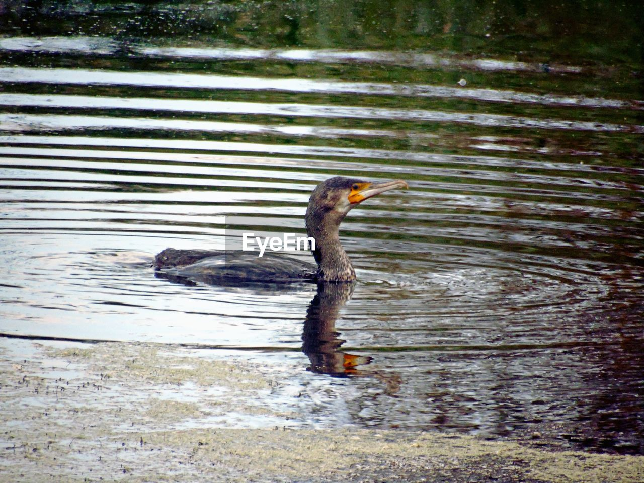 animal wildlife, animal themes, one animal, animal, water, animals in the wild, bird, vertebrate, lake, no people, day, nature, reflection, swimming, cormorant, waterfront, outdoors, rippled, side view