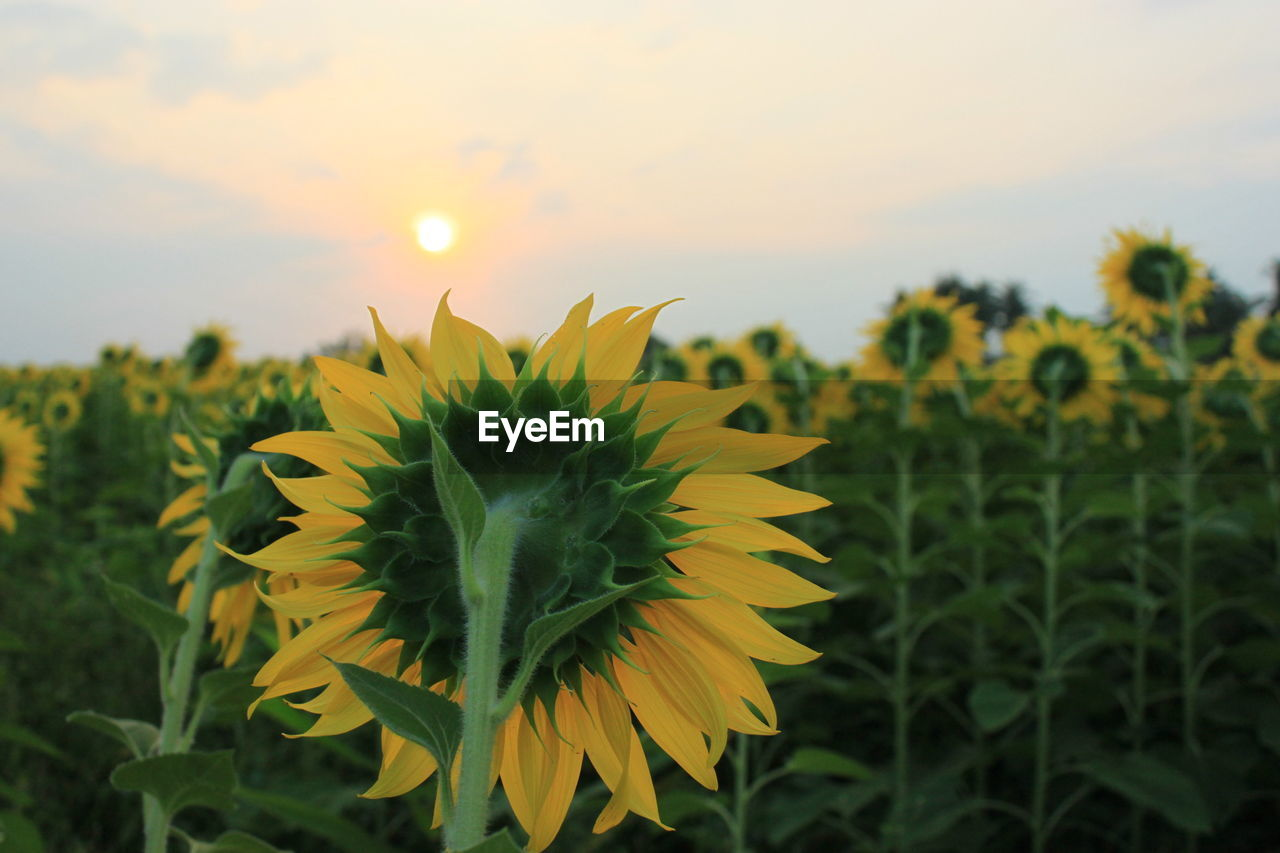 growth, beauty in nature, plant, yellow, flower, flowering plant, fragility, freshness, vulnerability, sky, flower head, nature, petal, close-up, focus on foreground, sunset, field, land, inflorescence, green color, sunflower, no people, outdoors, sepal