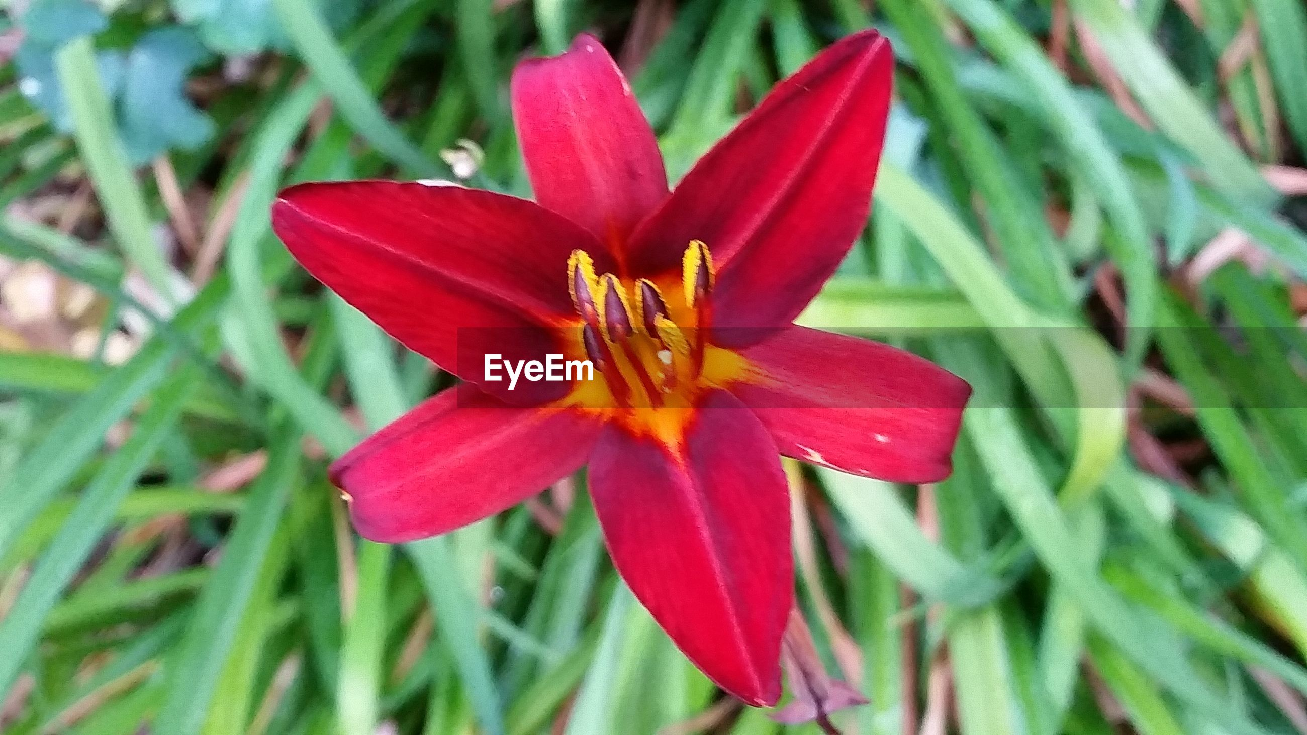 flower, petal, flower head, nature, growth, beauty in nature, fragility, freshness, red, no people, day, outdoors, plant, close-up, blooming, day lily
