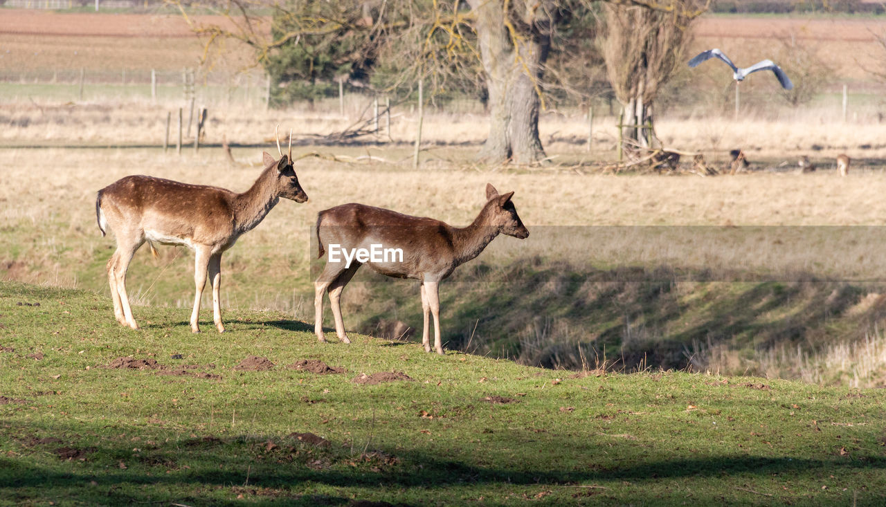 animal, animal themes, animal wildlife, animals in the wild, mammal, group of animals, grass, plant, land, field, vertebrate, side view, deer, no people, standing, nature, day, full length, two animals, outdoors, herbivorous