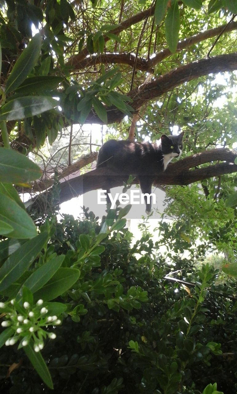 tree, one animal, branch, animal themes, animals in the wild, low angle view, nature, mammal, day, animal wildlife, leaf, no people, green color, outdoors, lemur, full length
