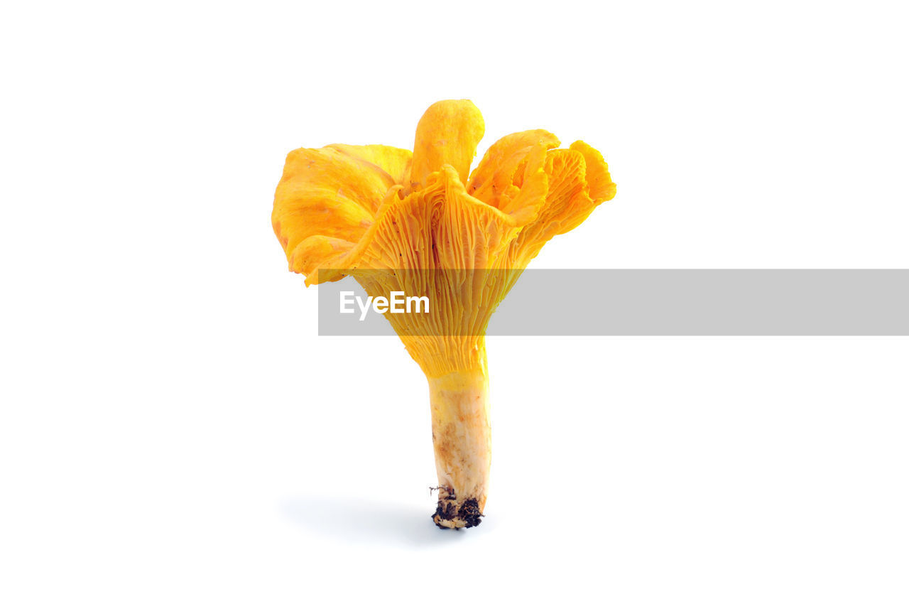 Close-Up Of Golden Chanterelle Against White Background