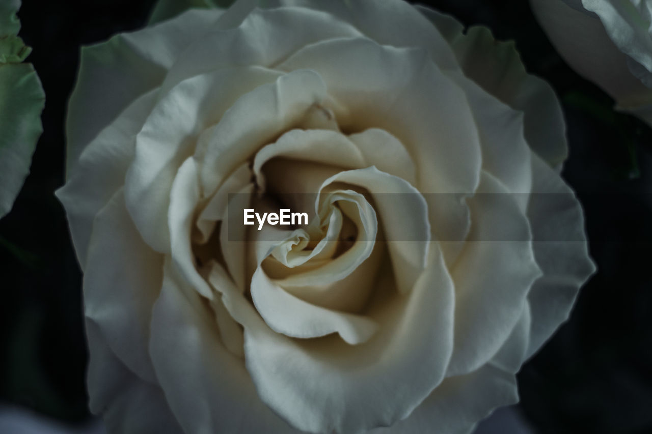 flower, petal, rose - flower, nature, flower head, beauty in nature, fragility, growth, no people, plant, close-up, freshness, blooming, outdoors, day