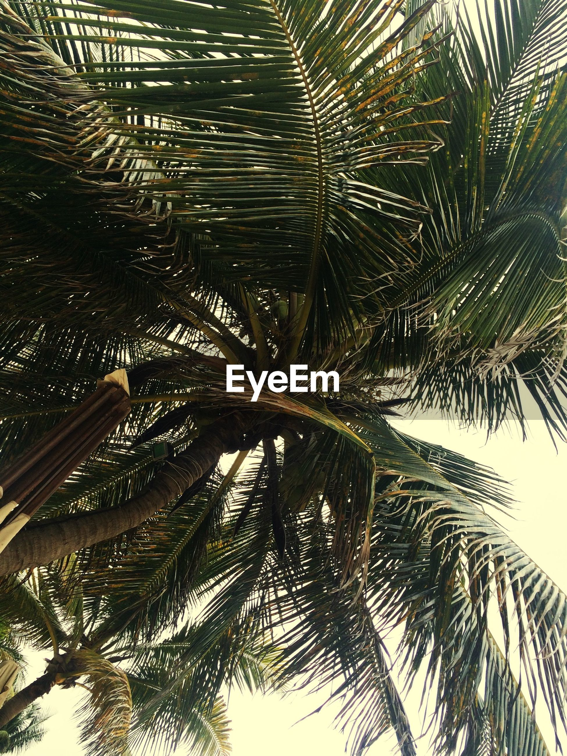 palm tree, tree, low angle view, growth, palm leaf, nature, tranquility, branch, tree trunk, beauty in nature, leaf, tropical tree, coconut palm tree, scenics, day, outdoors, tropical climate, tall - high, no people, sky