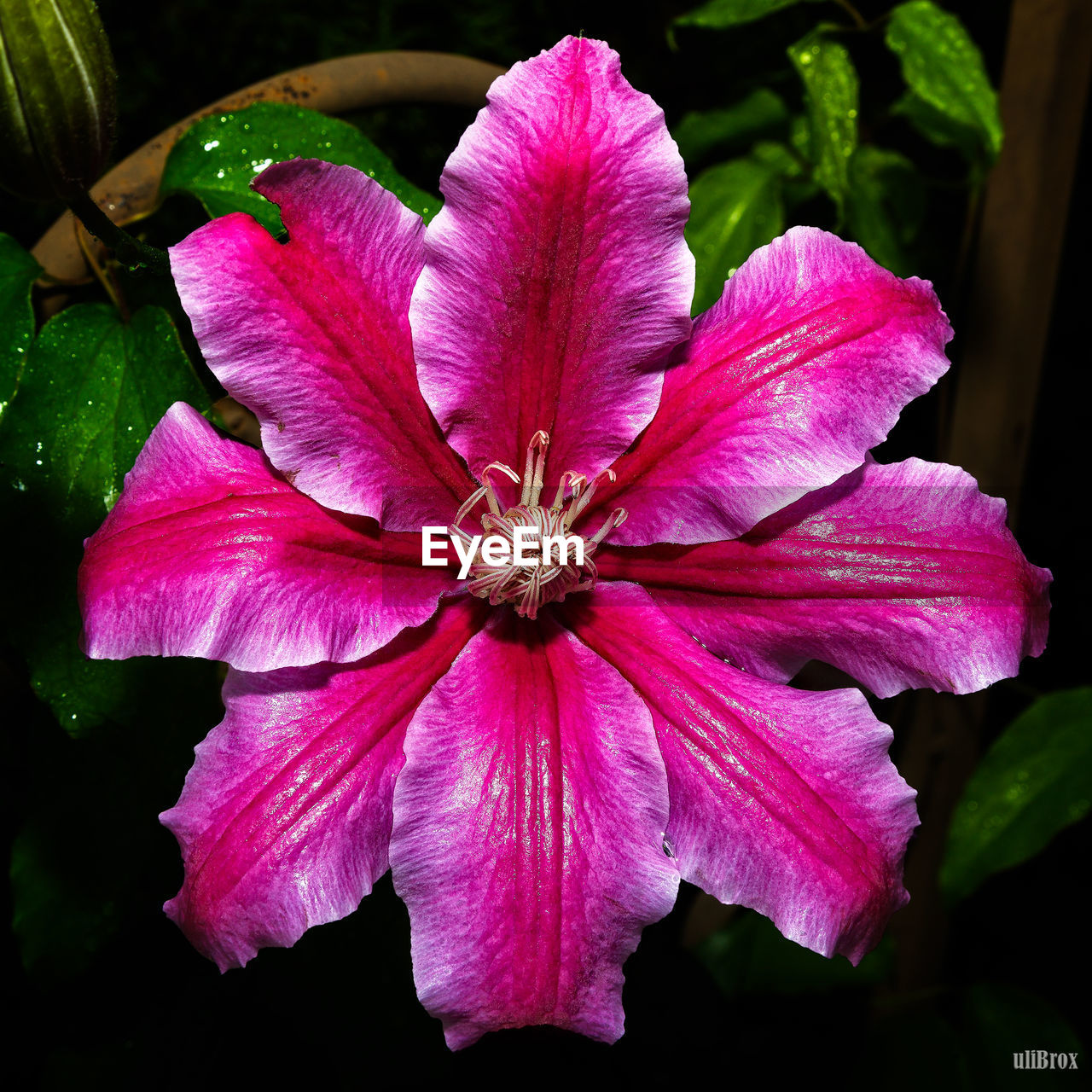 flower, petal, fragility, beauty in nature, pink color, flower head, nature, growth, blooming, freshness, no people, plant, day, close-up, outdoors, petunia, hibiscus