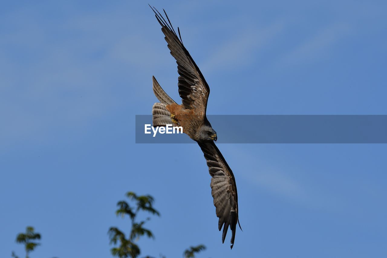 spread wings, flying, animals in the wild, animal wildlife, bird, animal themes, vertebrate, animal, low angle view, sky, one animal, mid-air, clear sky, motion, blue, no people, nature, day, bird of prey, outdoors, eagle