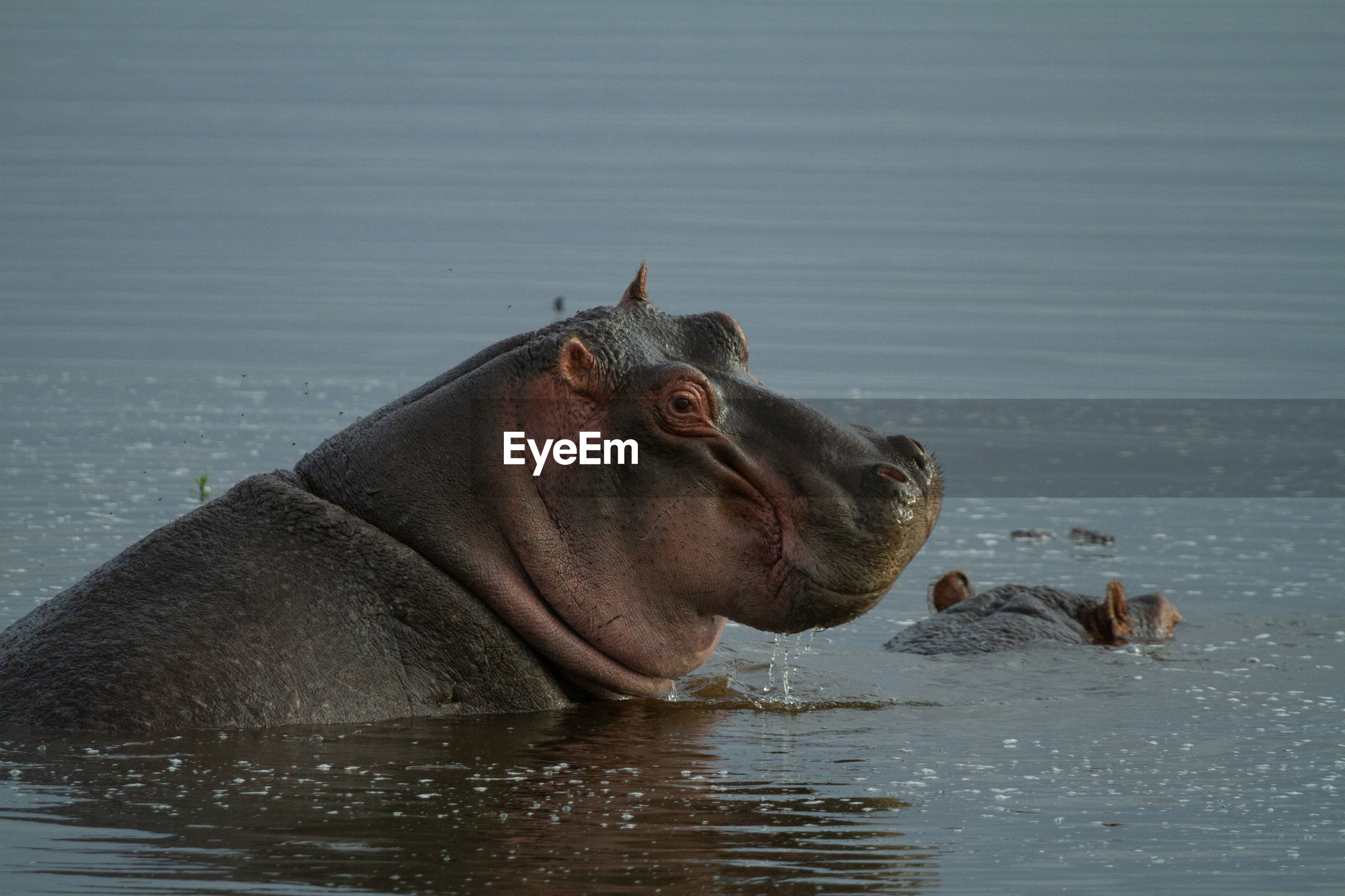 Portrait of a hippo smiling from blue-grey water