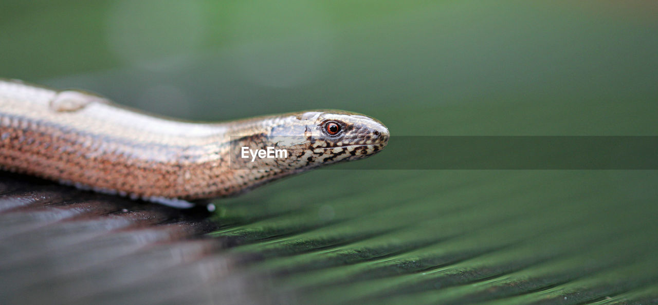 Close-Up Side View Of A Snake