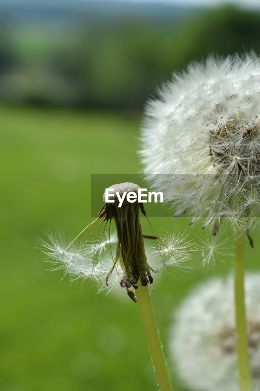 fragility, plant, vulnerability, flower, dandelion, flowering plant, close-up, focus on foreground, growth, beauty in nature, nature, freshness, no people, dandelion seed, day, softness, plant stem, white color, inflorescence, flower head, outdoors